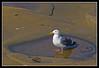 Herring Gull in a pool along the ocean at La Jolla Cove, San Diego