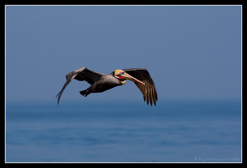 Male Brown Pelican in flight over La Jolla Cove.