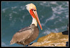 Male Brown Pelican at La Jolla Cove.  The color only exists during breeding season.