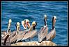 Pelican party at La Jolla Cove.