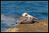 """Male Brown Pelican transformed into """"egg mode"""" for an afternoon nap."""