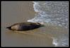 Solitary juvenile Seal on Children's Beach in La Jolla