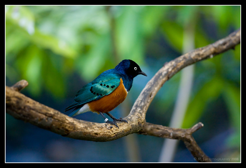 Superb Starling in the African aviary at the Zoo