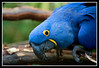 "Hyacinth Macaw ""Samson"" at San Diego Wild Animal Park.  Samson wanted to step up on me as he would offer one foot to me."