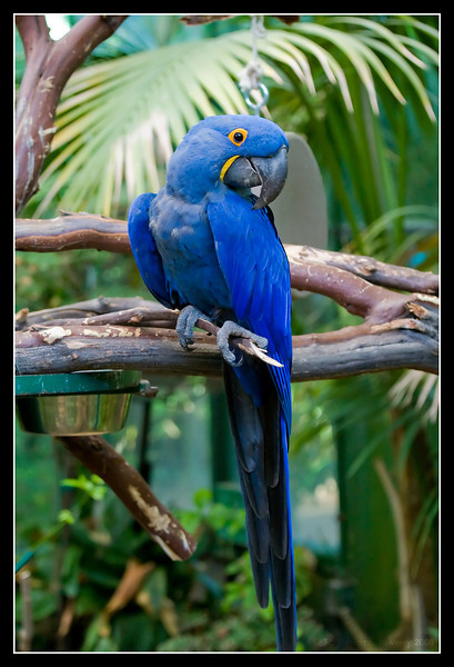 "Hyacinth Macaw ""Samson"" at San Diego Wild Animal Park."
