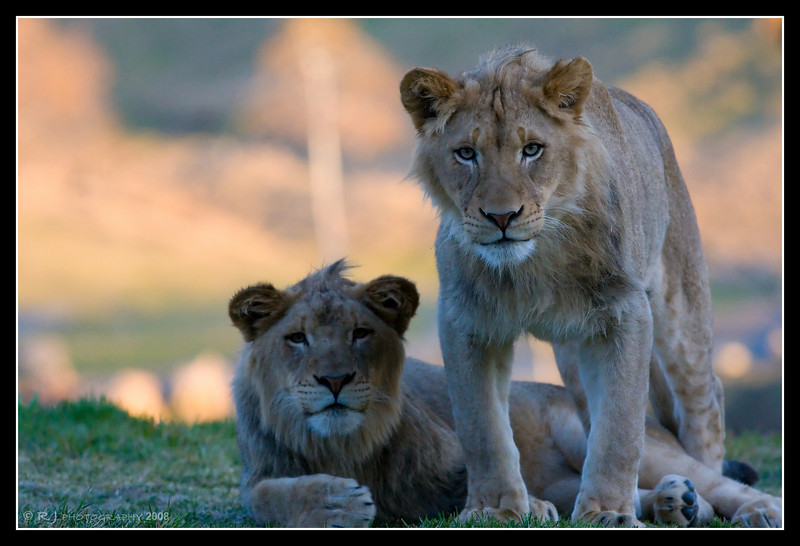 Male and Female Lions at San Diego Wild Animal Park - shot at ISO 6400 at the sun was no more than 10-15 degrees in the sky.  Not bad for ISO 6400...