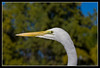 Great Egret at San Diego Wild Animal Park.  I was less than 3 feet from him/her and there was no fear of me.
