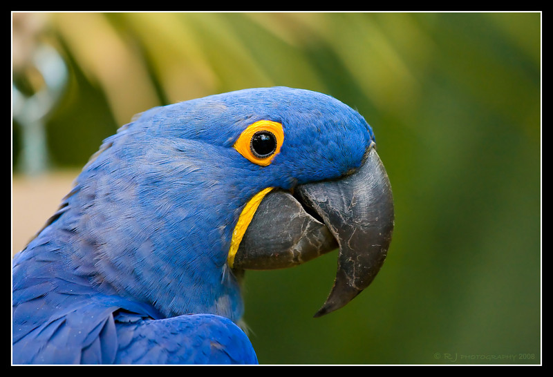 """Hyacinth Macaw """"Samson"""" at San Diego Wild Animal Park.  He really got excited when you called him by name."""
