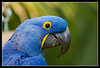 "Hyacinth Macaw ""Samson"" at San Diego Wild Animal Park.  He really got excited when you called him by name."