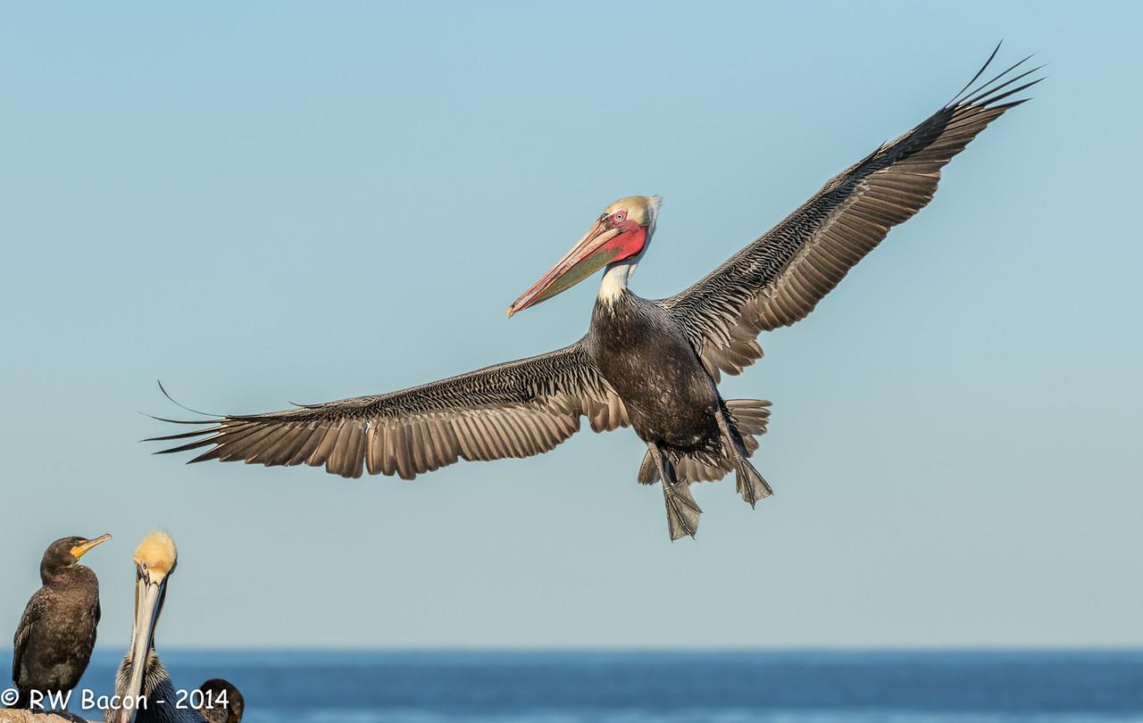 La Jolla Pelican - Join the Party