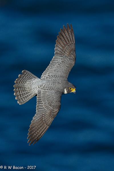 Peregrine Falcon Topside