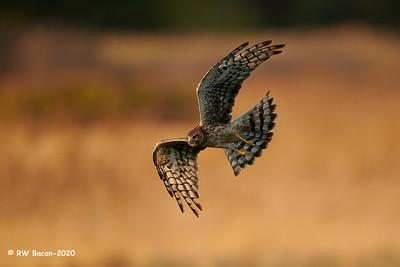 Harrier Flare