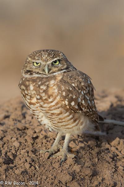 Salton Sea Burrowing Owl Stare
