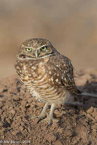 Salton Sea Burrowing Owl Stare