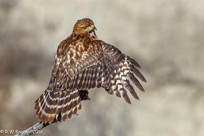 Re-shouldered Hawk Juvinile
