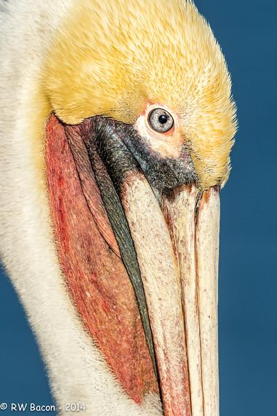 La Jolla Pelican Head Shot 2