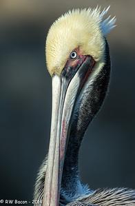 La Jolla Pelican Portrait Dark BG