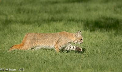Bobcat - Stalking