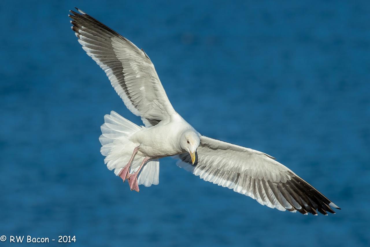 Western Gull Full Flaps