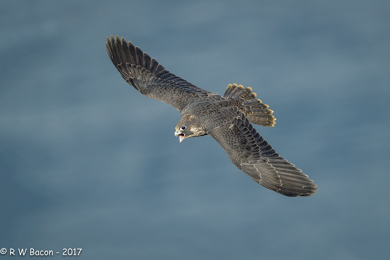 Juvi Peregrine Screaming Fly-by