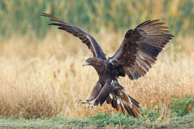 Golden Eagle Full Flaps