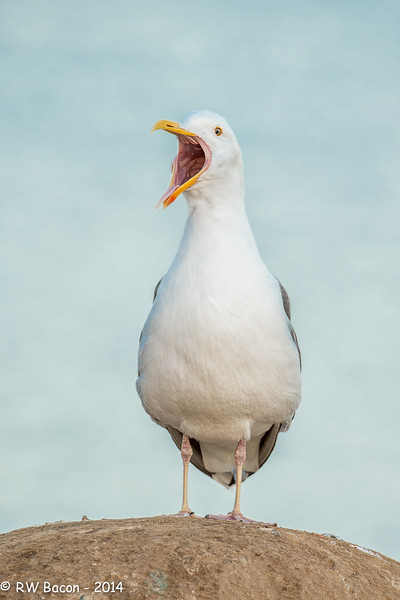 Western Gull Screaming