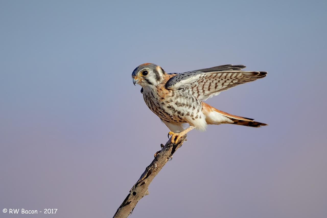 Male Kestral Wing Stretch