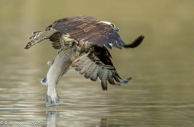 Osprey - Big Ass Fish