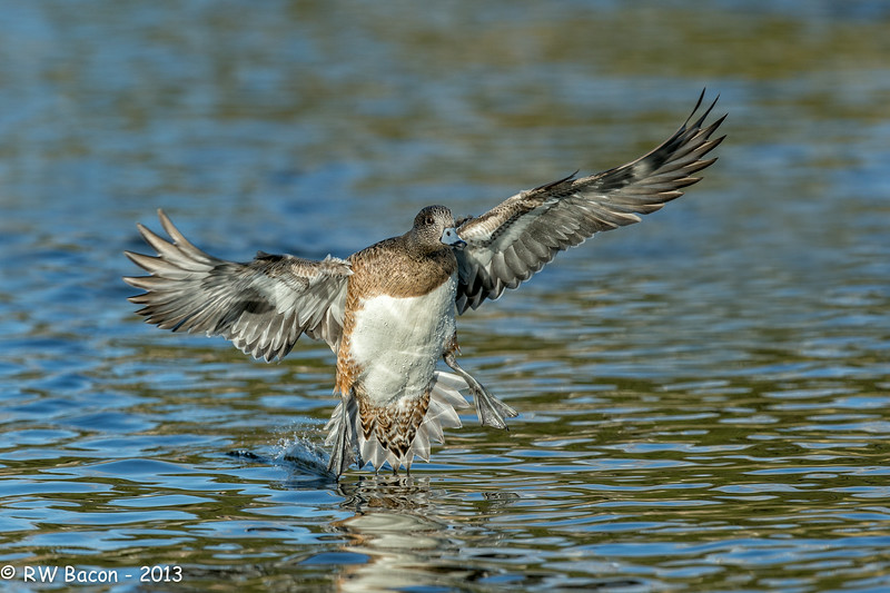Widgeon Landing