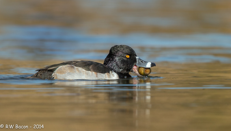 Ring-necked Duck with Apple Snail
