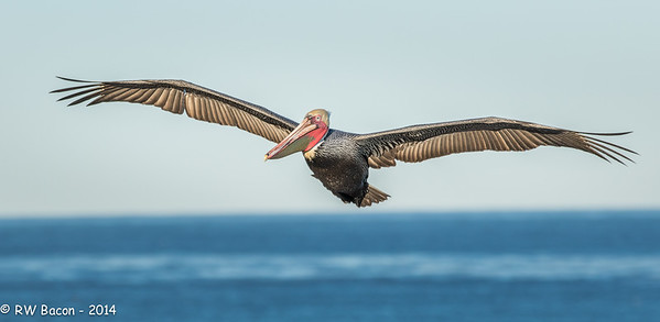 La Jolla Pelican Over Pacific