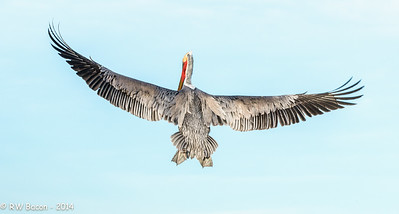 La Jolla Pelican - Backside