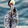 La Jolla Pelican