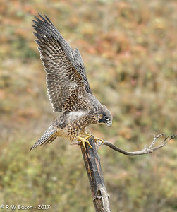 Juvi Peregrine Wing Stretch II