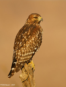 Red_Shouldred Hawk Portrait