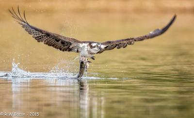 Osprey - Trout Fishing
