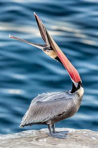 La Jolla Pelican - Head Throw