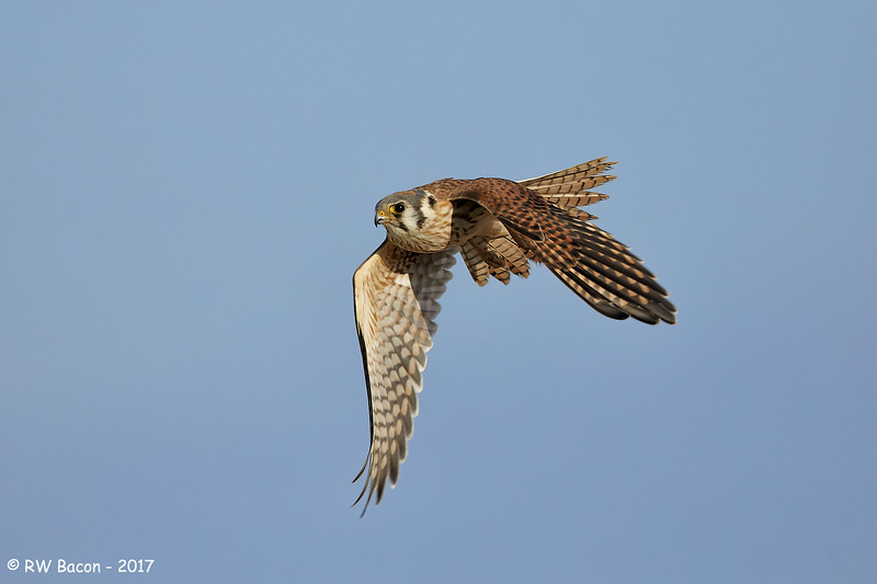 Female Kestral in Flight
