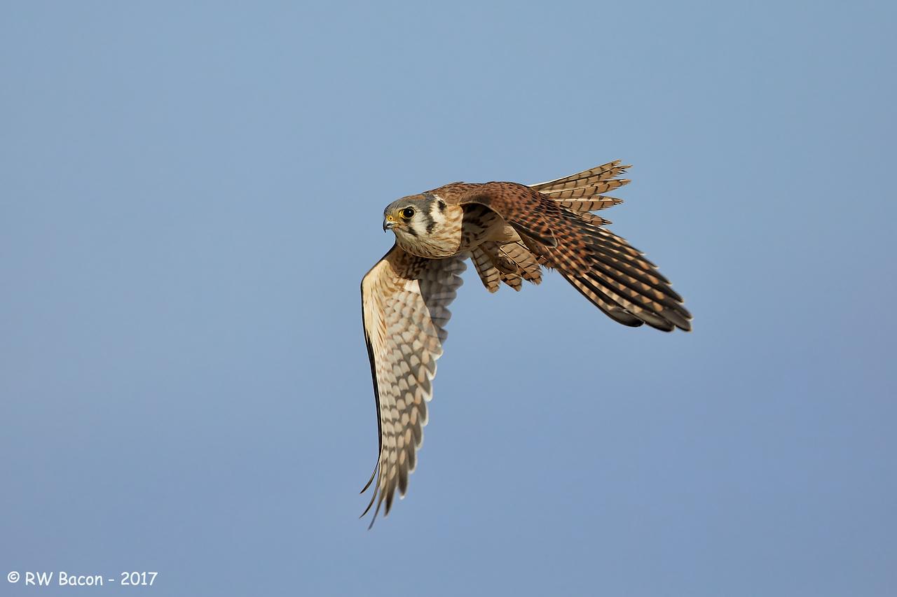 Female Kestral in Flight