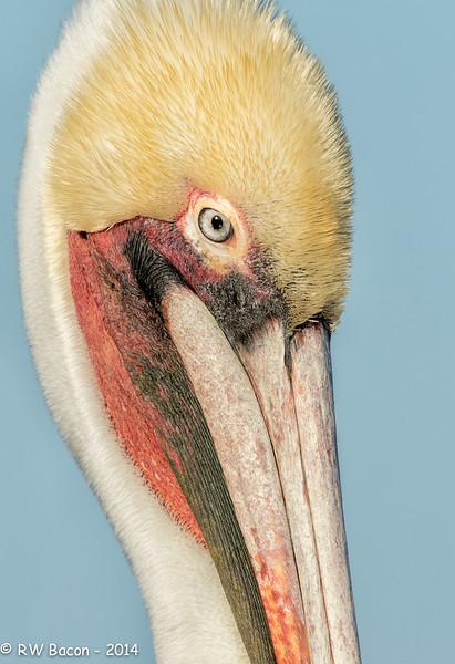 La Jolla Pelican Head Shot
