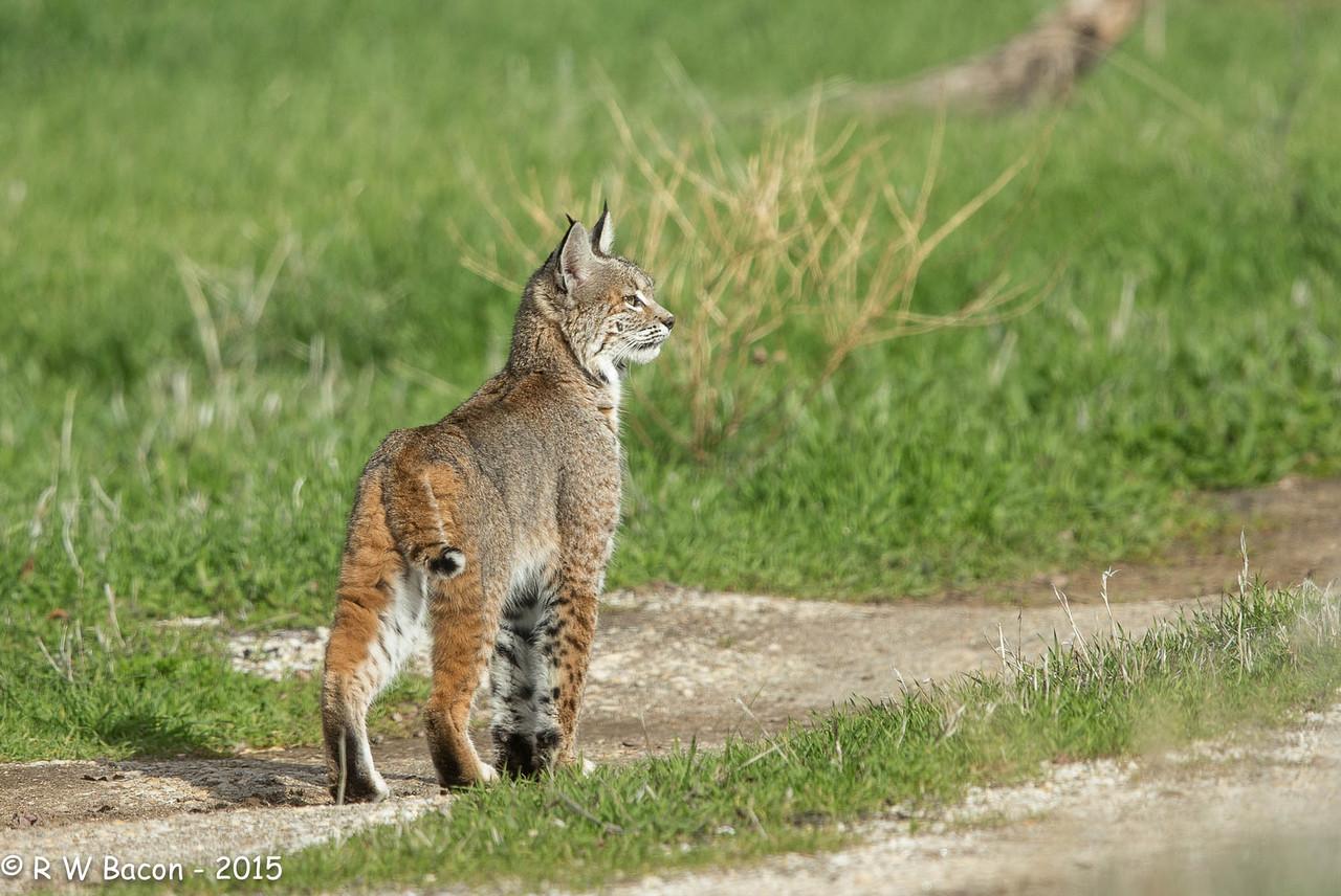 Bobcat - Down the Road