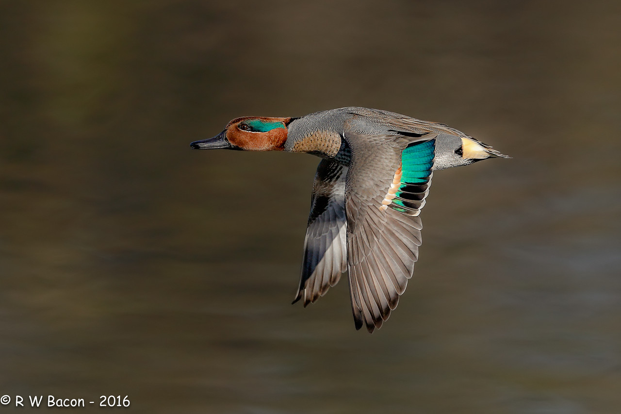 Green-winged Teal Grake