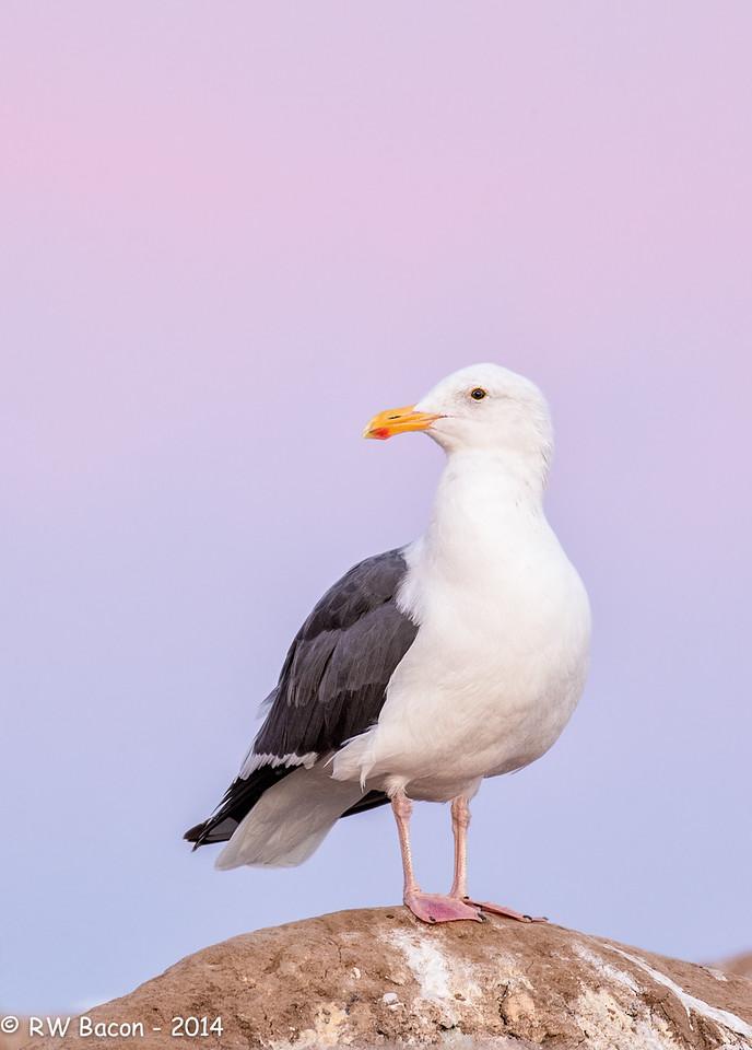 La Jolla Western Gull - Sunrise