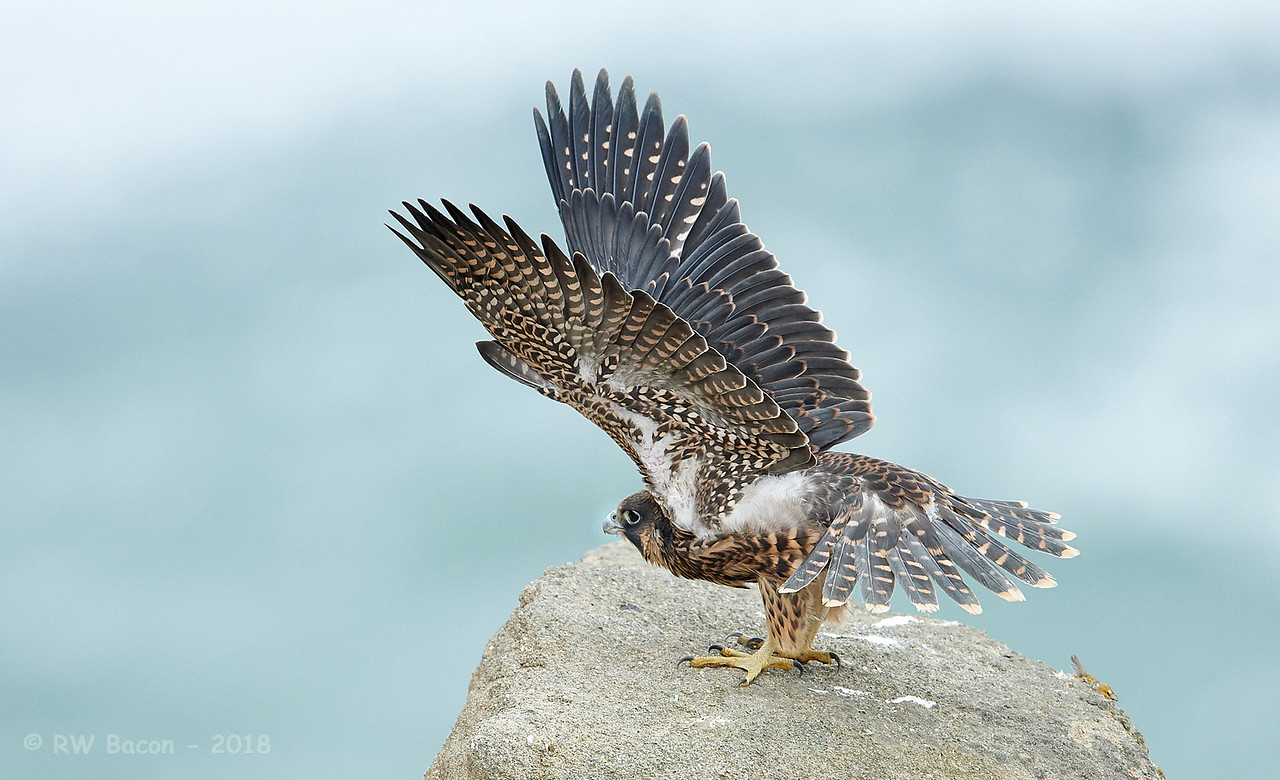 Fledgling Peregrine Stretch