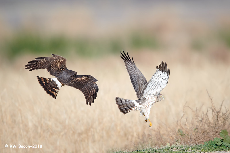 Northern Harriers - Family Squable