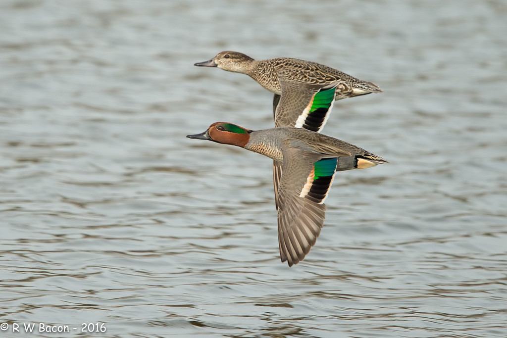 Green Wing Teal Pair