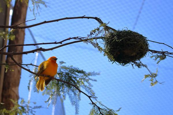 Taveta Golden Weaver and nest (II)
