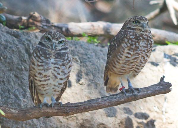 Western Burrowing Owls