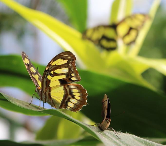 Posturing Butterflies