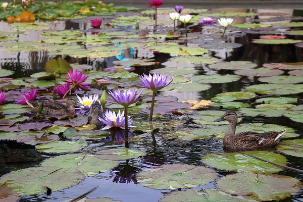 Ducks and Lilies